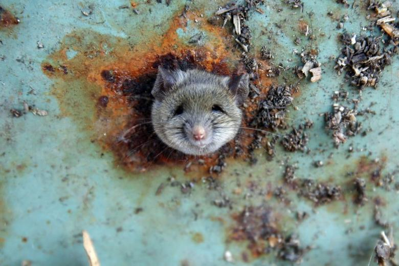 A rat's head rests as it is constricted in an opening in the bottom of a garbage can in the Brooklyn borough of New York, U.S., October 18, 2016.  REUTERS/Lucas Jackson