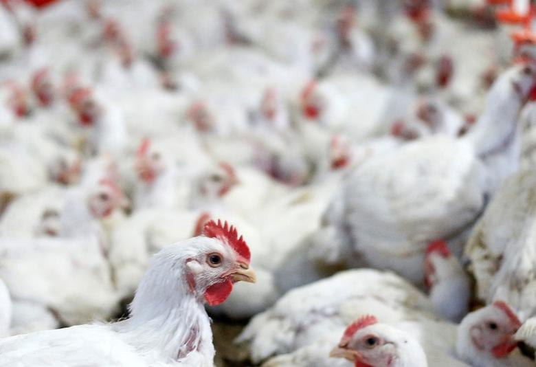 Chicken are pictured at a poultry factory in Lapa city, Parana state, Brazil, May 31, 2016. REUTERS/Rodolfo Buhrer