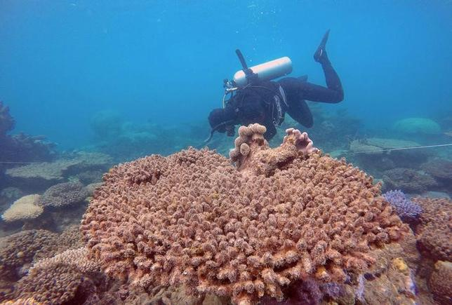 REPRESENTATIVE IMAGE - Supplied image of a scientist assessing coral mortality on Zenith Reef on the Great Barrier Reef in Australia, made available to Reuters on November 29, 2016. Andreas Dietzel/Courtesy of ARC Centre of Excellence for Coral Reef Studies/Handout via REUTERS