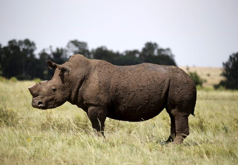 A  rhino is seen after it was dehorned in an effort to deter the poaching of one of the world's endangered species, at a farm outside Klerksdorp, in the north west province, South Africa, in this February 24, 2016 file photo. REUTERS/Siphiwe Sibeko/Files