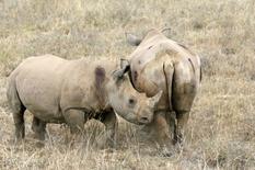 La start-up toulousaine Sigfox, spécialiste des objets connectés, a mené une expérimentation d'un nouveau système de suivi à distance des rhinocéros en Afrique pour mieux les protéger. Entre juillet 2016 et février 2017, Sigfox Foundation a développé ce nouveau système de suivi en équipant dix rhinocéros d'une réserve naturelle située au sud de l'Afrique, abritant 450 spécimens sauvages. /Photo d'archives/REUTERS/Thomas Mukoya