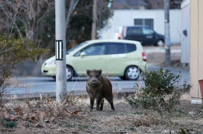 Wild boars overrun deserted Fukushima town