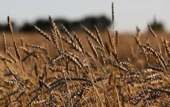 Пшеница на поле сельхозкомпании Солгонское. Министерство экономики Турции опровергло сообщения о том, что Анкара запретила импорт ряда продуктов из России, добавив, что её торговая политика соответствует требованиям ВТО.  REUTERS/Ilya Naymushin