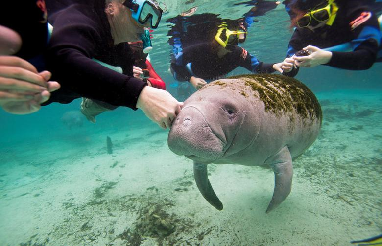 Snorkelers interact with a Florida Manatee inside of the Three Sisters Springs in Crystal River, Florida January 15, 2015.    REUTERS/Scott Audette/File Photo