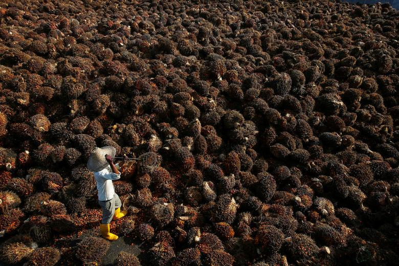 FILE PHOTO: A worker collects palm oil fruit inside a palm oil factory in Sepang, outside Kuala Lumpur June 18, 2014.   REUTERS/Samsul Said/File Photo