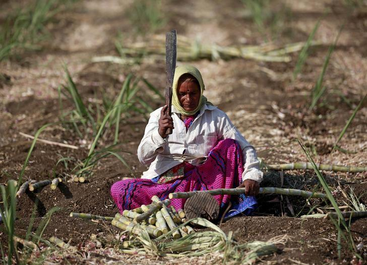 A 55-year-old female worker cuts sugarcane in a field in Degaon village in Solapur, Maharashtra, India December 18, 2015. REUTERS/Danish Siddiqui/File photo