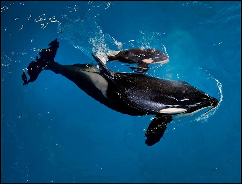 SeaWorld San Antonio's orca Takara swims with her new calf - the last to be born at a SeaWorld park - in San Antonio, Texas, United States in this April 19, 2017 handout photo.  SeaWorld/Handout via REUTERS