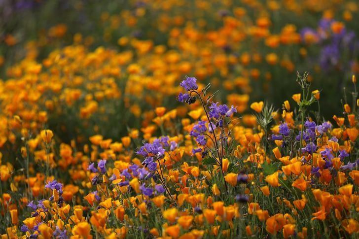 2017年3月,美国加州Elsinore湖畔盛开的野花。REUTERS/Lucy Nicholson