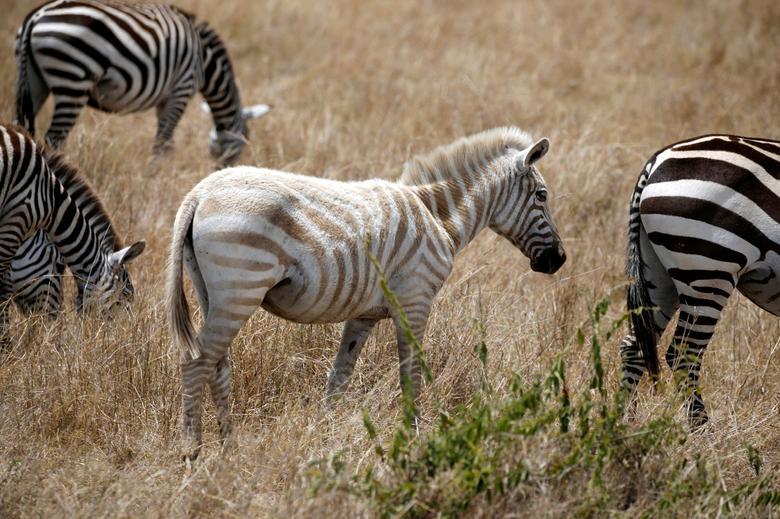 An albino zebra walks in Maasai Mara National Reserve, Kenya September 17, 2016. REUTERS/Goran Tomasevic