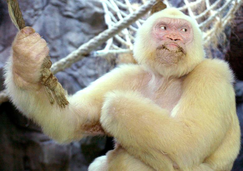 Albino gorilla 'Copito de Nieve' (Snow Flake), the only one known in the world, sits inside his cage in Barcelona zoo September 14, 2003. REUTERS/Albert Gea