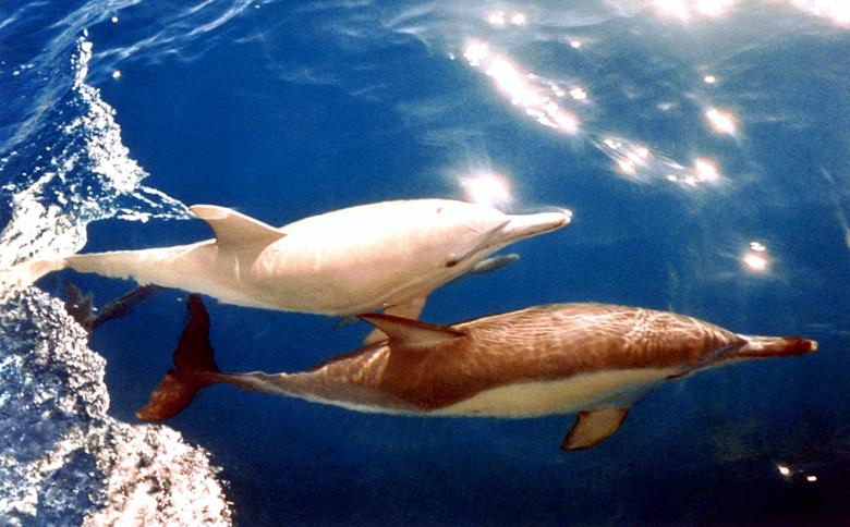 A rare albino dolphin swims with a companion off the South Australian coast in March 1994. REUTERS/Stringer