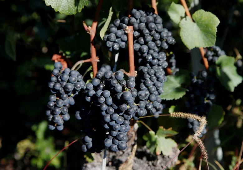 FILE PHOTO: Red grapes are pictured before their harvest in a vineyard near Leuk, Switzerland, September 30, 2016. REUTERS/Denis Balibouse