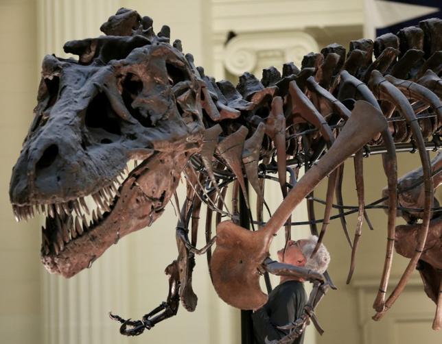 5月17日、科学誌サイエンティフィック・リポーツに掲載された米研究者らの調査で、ティラノサウルス族(Tレックス)の恐竜がものを噛む力は小型車3台分の重量に相当し、骨などを簡単に噛み砕けたことが分かった。写真は昨年10月にシカゴのフィールド博物館で撮影(2017年 ロイター/Jim Young )