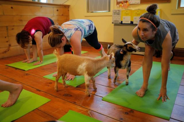 Goats walk around students during a yoga class with eight students and five goats at Jenness Farm in Nottingham, New Hampshire, U.S., May 18, 2017.  Picture taken May 18, 2017.    REUTERS/Brian Snyder