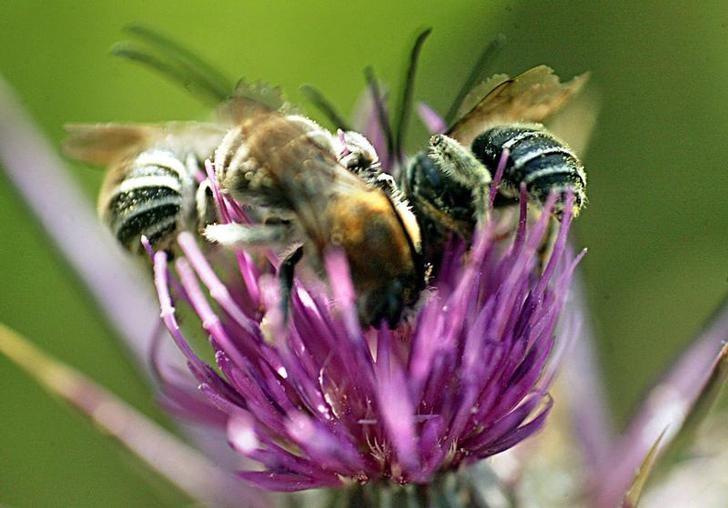 资料图片:2005年5月,约旦安曼,一朵野花上的蜜蜂。REUTERS/Ali Jarekji