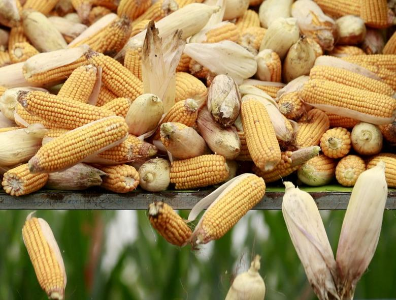 FILE PHOTO: A harvester unloads corn to a cargo truck at a farm in Gaocheng, Hebei province, China, in this September 30, 2015 file picture.  REUTERS/Kim Kyung-Hoon/File Photo
