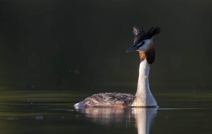 2017年5月22日,白俄罗斯Sosenka村附近湖水中的一只水鸟。REUTERS/Vasily Fedosenko
