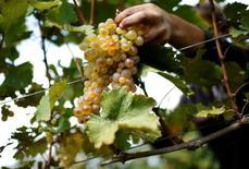 Сбор винограда в Грузии. Рост валового внутреннего продукта (ВВП) Грузии ускорился в январе-апреле текущего года до 4,2 процента с 2,8 процента годом ранее, сообщила Национальная статистическая служба страны во вторник.  REUTERS/David Mdzinarishvili