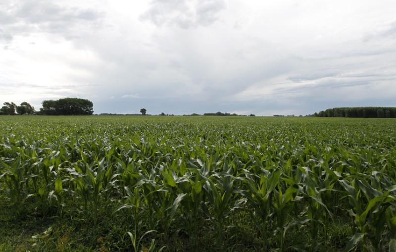 Argentine corn exports set to compete hard with Brazil, U S
