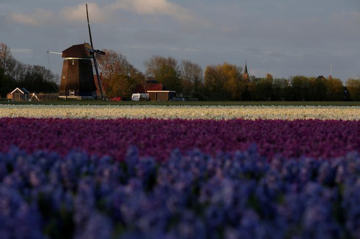 2017年4月22日,荷兰Den Helder,清晨的郁金香花海。REUTERS/Cris Toala Olivares