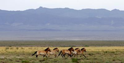 Wild horses return to Mongolia's steppes