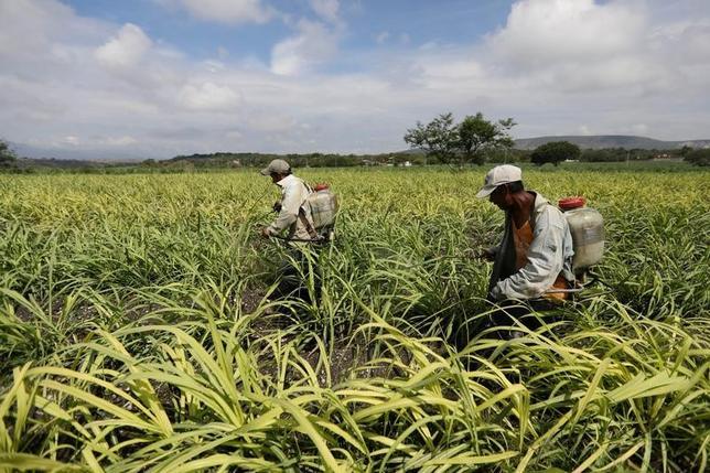 7月3日、メキシコ政府と米政府は、米国のメキシコ産砂糖輸入に関する新たな協定に正式に署名した。両政府は先月、2014年に結んだ協定の見直しで合意していた。写真はサトウキビ畑で肥料をまく作業員ら。5月にメキシコ、モレロス州で撮影(2017年 ロイター/Edgard Garrido)