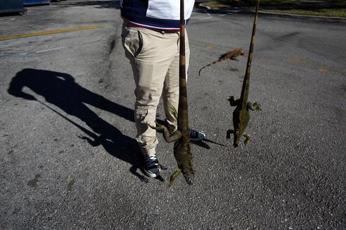 Florida wildlife 'cold stunned' by weather