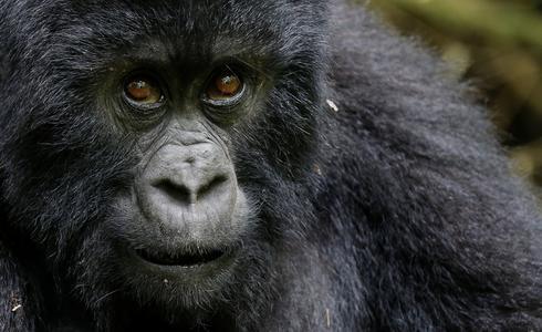 Rwanda's mountain gorillas
