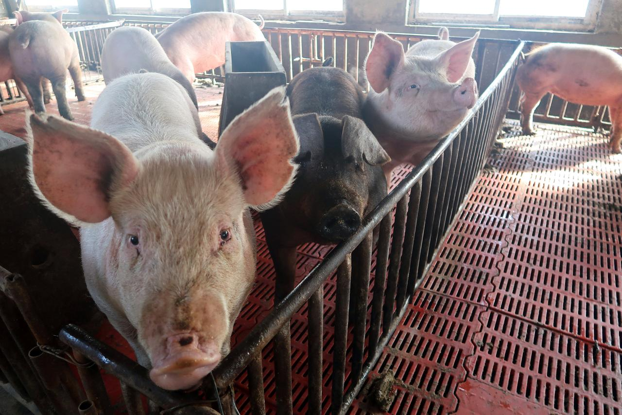 Pigs Are Seen On A Family Farm In Xiaoxinzhuang Village Hebei Province China January 25 2018 REUTERS Dominique Patton
