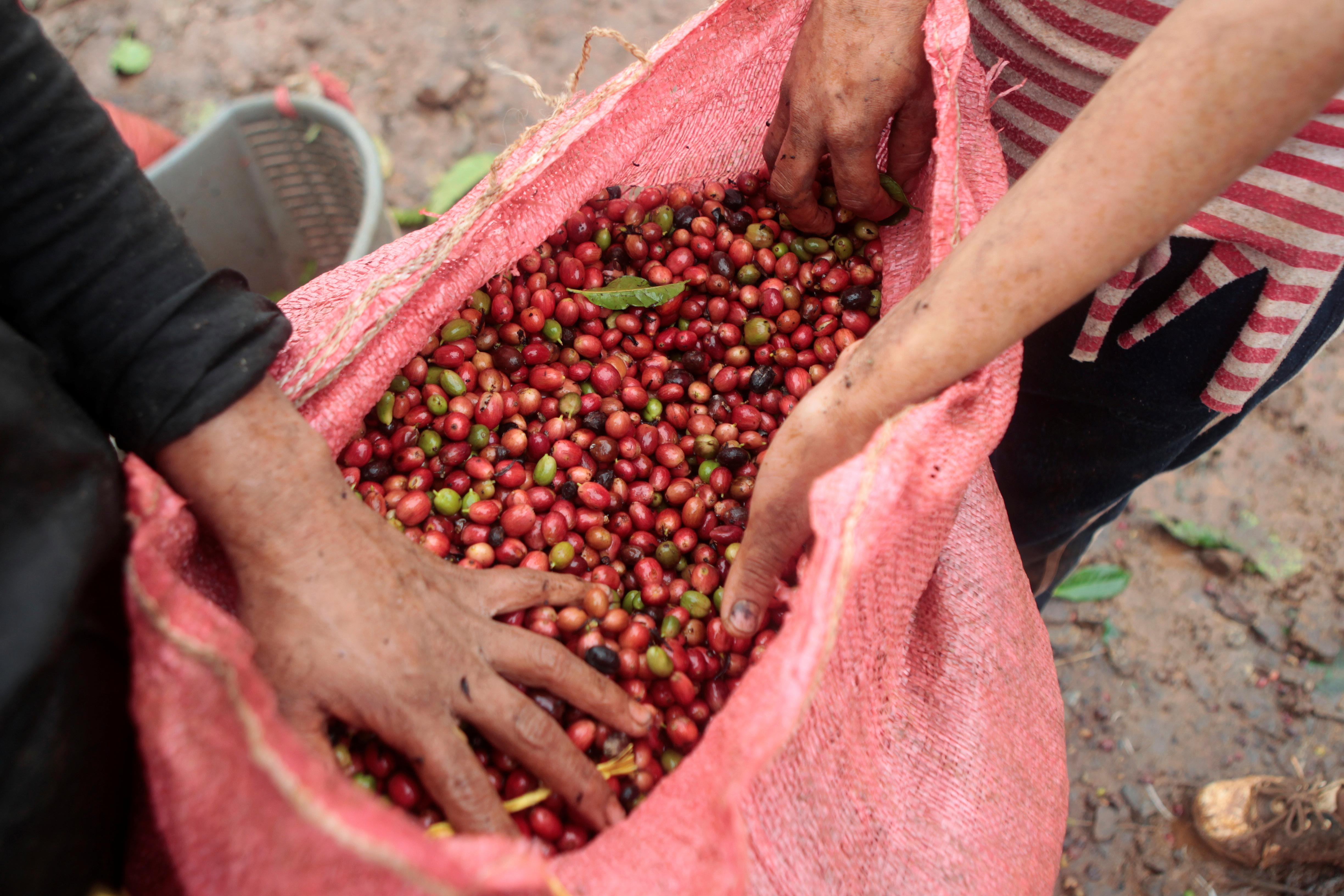 Latin America's premium coffee growers branch out to cheaper beans