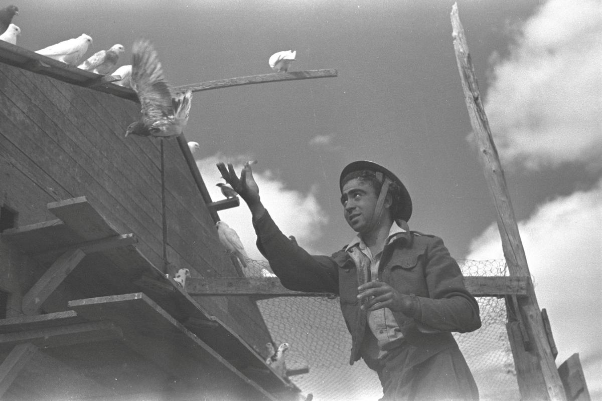 Pigeons, winged warriors that helped Israel to victory 70 years ago