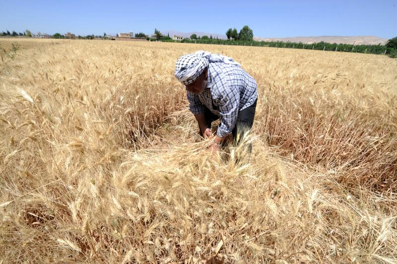 Exclusive: Syria to import 1 5 million tons wheat - minister