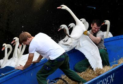 Swan roundup