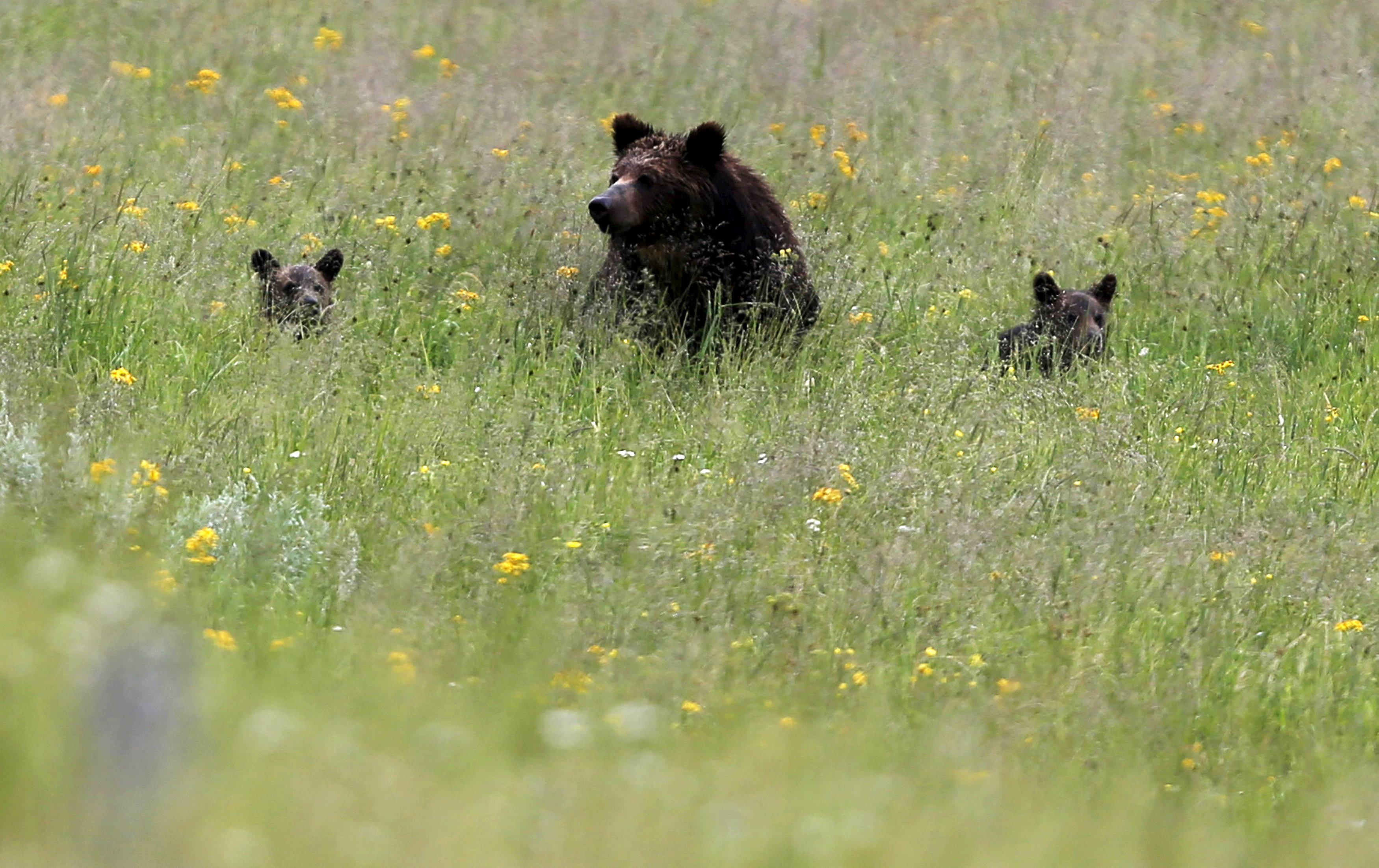 First Yellowstone-area grizzly hunt in 40 years blocked by federal judge