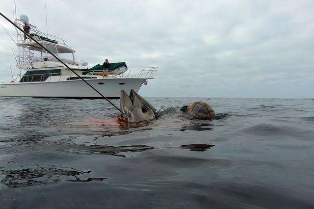 Big bluefin tuna make comeback after 80-year hiatus off