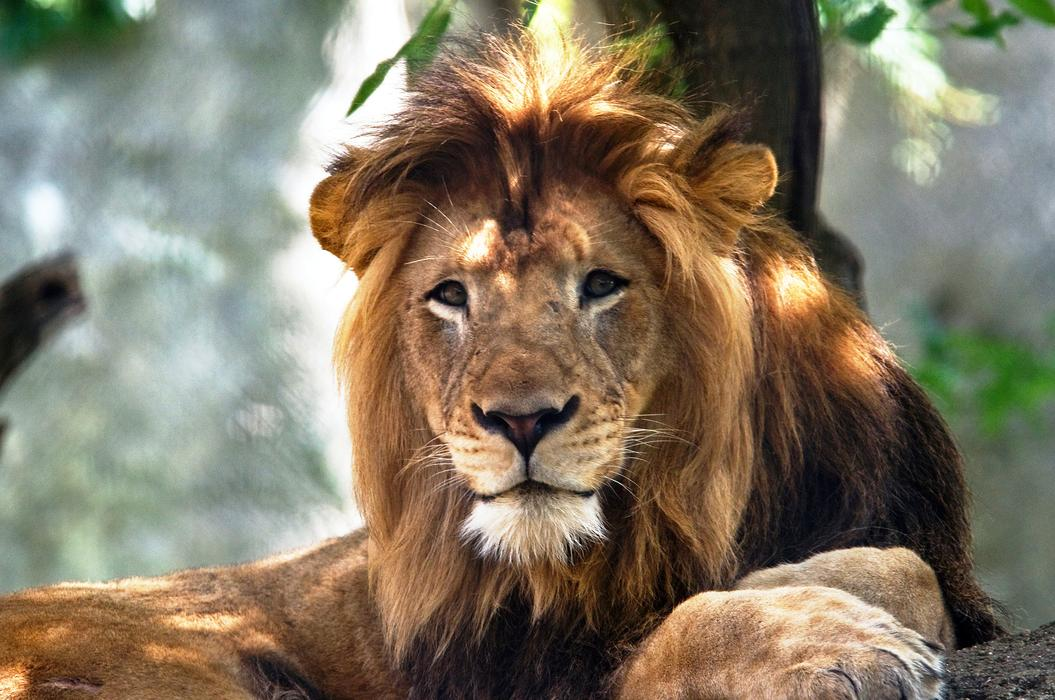 The Indianapolis Zoo's adult male lion named Nyack, which died as the result of injuries inflicted by an adult female lion, is seen in this undated image released by the zoo in Indianapolis, Indiana, U.S., on October 21, 2018. — Photograph: Courtesy of Indianapolis Zoo.