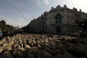 Sheep replace traffic in the heart of Madrid
