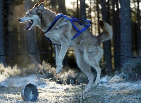 Dog sledding in Scotland
