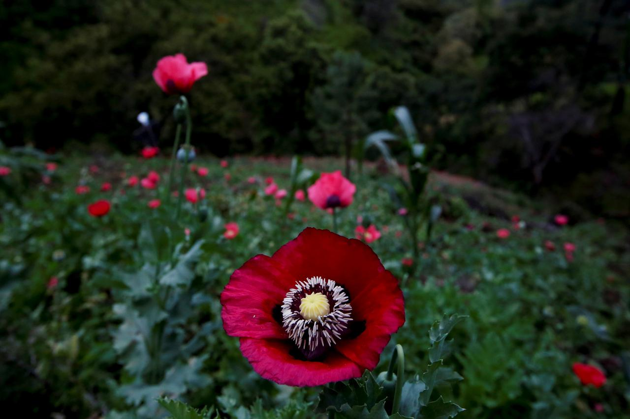 Wider Image As Opium Poppies Bloom Mexico Seeks To Halt Heroin