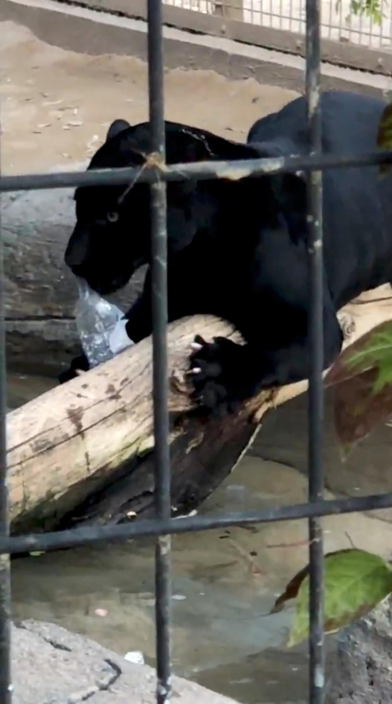 jaguar claws arizona woman who climbed zoo barrier to take a selfie