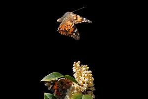 Journey of the painted lady butterfly