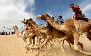 Child jockeys race camels in Egypt