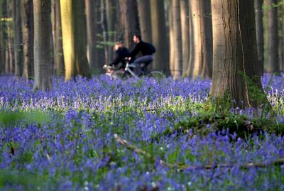 The blue forest of Belgium