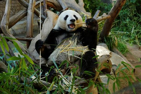 Pandas set to leave San Diego Zoo after two-decade loan from China