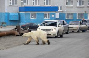 Exhausted polar bear wanders into Siberian city