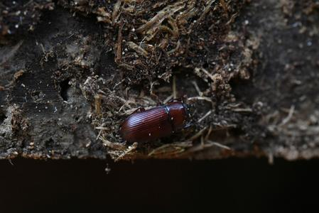 Voracious beetle kills swathes of Greek forest