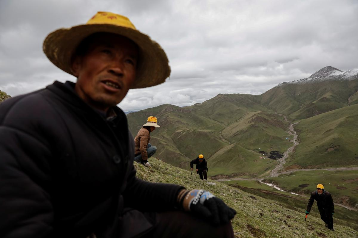 As Chinese mountains get hotter, hunt for 'cure-all' fungus gets...