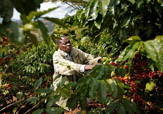Premium Prices Attract Small Farmers Back To Coffee Growing In Zimbabwe Reuters