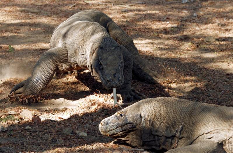 Genoomstudie vind die wortels van die traagheid van die Komodo-draak