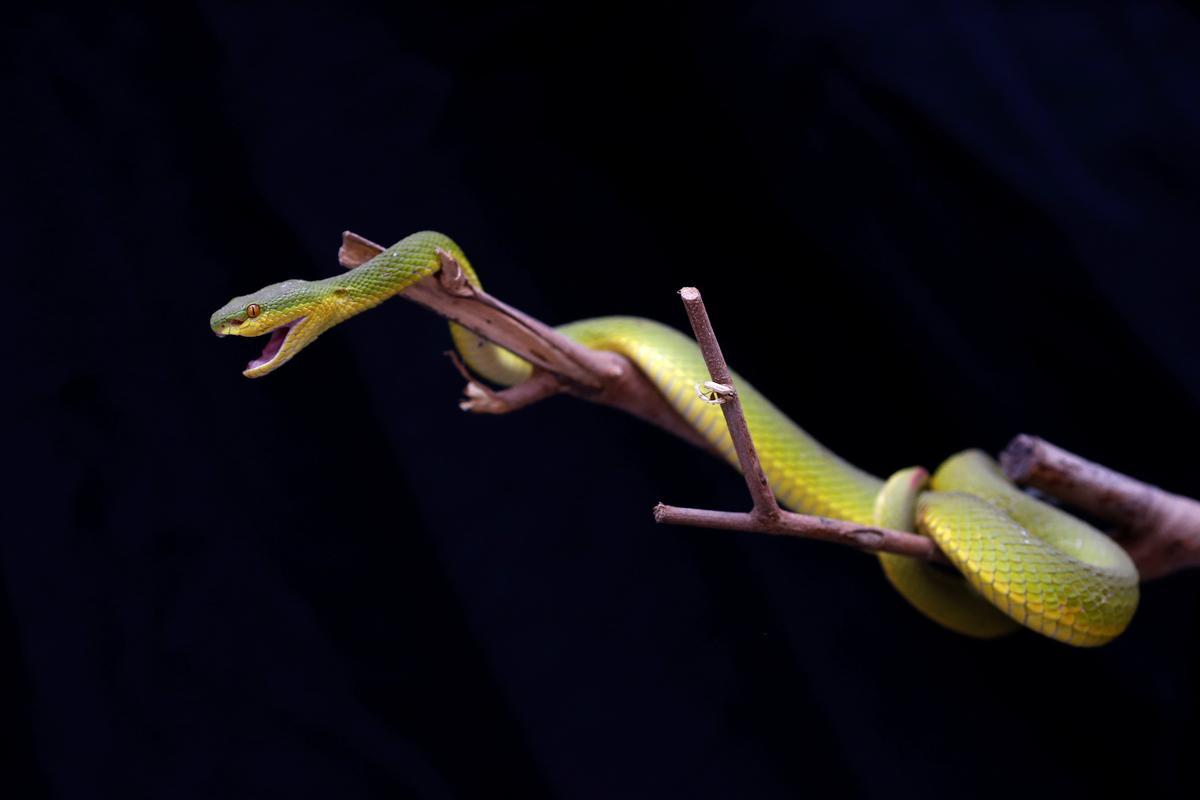'Ek kan nie aanbeveel dat u dit doen nie': die stealthy slang wrangler van Thailand